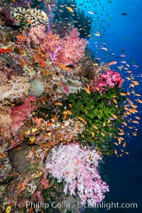 Colorful Dendronephthya soft corals and schooling Anthias fish on coral reef, Fiji, Dendronephthya, Pseudanthias, Tubastrea micrantha, Vatu I Ra Passage, Bligh Waters, Viti Levu  Island