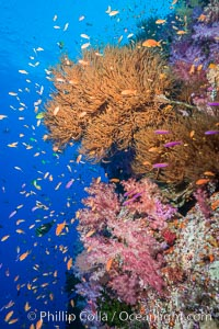 Colorful Dendronephthya soft corals, Black coral and schooling Anthias fish on coral reef, Fiji, Dendronephthya, Pseudanthias, Vatu I Ra Passage, Bligh Waters, Viti Levu  Island