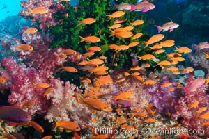 Vibrant Dendronephthya soft corals, green fan coral and schooling Anthias fish on coral reef, Fiji. Vatu I Ra Passage, Bligh Waters, Viti Levu  Island, Fiji, Dendronephthya, Pseudanthias, natural history stock photograph, photo id 31468