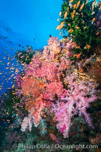 Vibrant Dendronephthya soft corals, green fan coral and schooling Anthias fish on coral reef, Fiji. Vatu I Ra Passage, Bligh Waters, Viti Levu  Island, Fiji, Dendronephthya, Pseudanthias, natural history stock photograph, photo id 31649