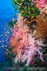 Vibrant Dendronephthya soft corals, green fan coral and schooling Anthias fish on coral reef, Fiji, Dendronephthya, Pseudanthias, Vatu I Ra Passage, Bligh Waters, Viti Levu  Island