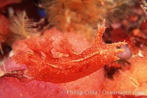 Nudibranch, Dendronotus, San Miguel Island