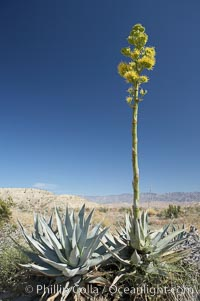 Desert agave, also known as the Century Plant, blooms in spring in Anza-Borrego Desert State Park. Desert agave is the only agave species to be found on the rocky slopes and flats bordering the Coachella Valley. It occurs over a wide range of elevations from 500 to over 4,000.  It is called century plant in reference to the amount of time it takes it to bloom. This can be anywhere from 5 to 20 years. They send up towering flower stalks that can approach 15 feet in height. Sending up this tremendous display attracts a variety of pollinators including bats, hummingbirds, bees, moths and other insects and nectar-eating birds., Agave deserti, natural history stock photograph, photo id 11553