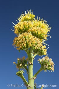 Desert agave, also known as the Century Plant, blooms in spring in Anza-Borrego Desert State Park. Desert agave is the only agave species to be found on the rocky slopes and flats bordering the Coachella Valley. It occurs over a wide range of elevations from 500 to over 4,000.  It is called century plant in reference to the amount of time it takes it to bloom. This can be anywhere from 5 to 20 years. They send up towering flower stalks that can approach 15 feet in height. Sending up this tremendous display attracts a variety of pollinators including bats, hummingbirds, bees, moths and other insects and nectar-eating birds, Agave deserti