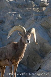 Desert bighorn sheep, male ram.  The desert bighorn sheep occupies dry, rocky mountain ranges in the Mojave and Sonoran desert regions of California, Nevada and Mexico.  The desert bighorn sheep is highly endangered in the United States, having a population of only about 4000 individuals, and is under survival pressure due to habitat loss, disease, over-hunting, competition with livestock, and human encroachment., Ovis canadensis nelsoni, natural history stock photograph, photo id 14655