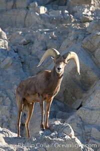 Desert bighorn sheep, male ram.  The desert bighorn sheep occupies dry, rocky mountain ranges in the Mojave and Sonoran desert regions of California, Nevada and Mexico.  The desert bighorn sheep is highly endangered in the United States, having a population of only about 4000 individuals, and is under survival pressure due to habitat loss, disease, over-hunting, competition with livestock, and human encroachment., Ovis canadensis nelsoni, natural history stock photograph, photo id 14671
