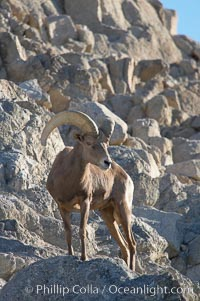 Desert bighorn sheep, male ram.  The desert bighorn sheep occupies dry, rocky mountain ranges in the Mojave and Sonoran desert regions of California, Nevada and Mexico.  The desert bighorn sheep is highly endangered in the United States, having a population of only about 4000 individuals, and is under survival pressure due to habitat loss, disease, over-hunting, competition with livestock, and human encroachment., Ovis canadensis nelsoni, natural history stock photograph, photo id 14674