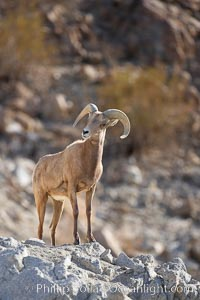 Desert bighorn sheep.  The desert bighorn sheep occupies dry, rocky mountain ranges in the Mojave and Sonoran desert regions of California, Nevada and Mexico.  The desert bighorn sheep is highly endangered in the United States, having a population of only about 4000 individuals, and is under survival pressure due to habitat loss, disease, over-hunting, competition with livestock, and human encroachment., Ovis canadensis nelsoni, natural history stock photograph, photo id 17943