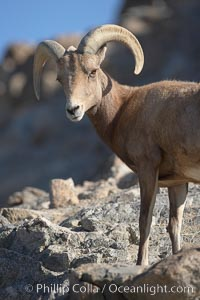 Desert bighorn sheep.  The desert bighorn sheep occupies dry, rocky mountain ranges in the Mojave and Sonoran desert regions of California, Nevada and Mexico.  The desert bighorn sheep is highly endangered in the United States, having a population of only about 4000 individuals, and is under survival pressure due to habitat loss, disease, over-hunting, competition with livestock, and human encroachment, Ovis canadensis nelsoni