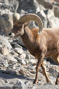 Desert bighorn sheep.  The desert bighorn sheep occupies dry, rocky mountain ranges in the Mojave and Sonoran desert regions of California, Nevada and Mexico.  The desert bighorn sheep is highly endangered in the United States, having a population of only about 4000 individuals, and is under survival pressure due to habitat loss, disease, over-hunting, competition with livestock, and human encroachment., Ovis canadensis nelsoni, natural history stock photograph, photo id 17954