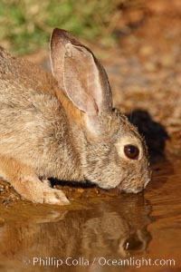 Desert cottontail, or Audubon's cottontail rabbit. Amado, Arizona, USA, Sylvilagus audubonii, natural history stock photograph, photo id 22978