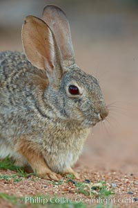 Desert cottontail, or Audubon's cottontail rabbit. Amado, Arizona, USA, Sylvilagus audubonii, natural history stock photograph, photo id 23004