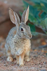Desert cottontail, or Audubon's cottontail rabbit. Amado, Arizona, USA, Sylvilagus audubonii, natural history stock photograph, photo id 23055