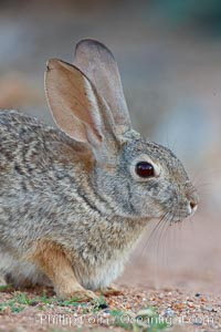 Desert cottontail, or Audubon's cottontail rabbit. Amado, Arizona, USA, Sylvilagus audubonii, natural history stock photograph, photo id 23072