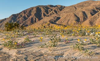 Desert Gold Wildflowers Spring Bloom in Anza-Borrego, Geraea canescens, Abronia villosa, Anza-Borrego Desert State Park, Borrego Springs, California