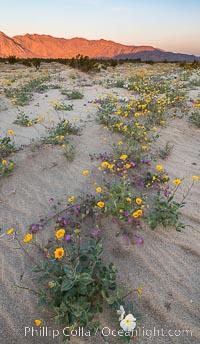 Desert Gold Wildflowers Spring Bloom in Anza-Borrego. Anza-Borrego Desert State Park, Borrego Springs, California, USA, Geraea canescens, Abronia villosa, Oenothera deltoides, natural history stock photograph, photo id 30535
