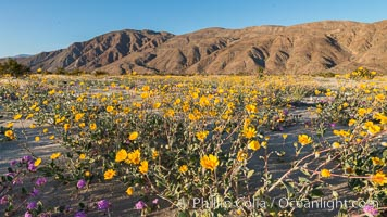 Desert Gold Wildflowers Spring Bloom in Anza-Borrego, Geraea canescens, Anza-Borrego Desert State Park, Borrego Springs, California