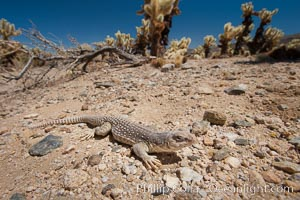 Desert iguana, one of the most common lizards of the Sonoran and Mojave deserts of the southwestern United States and northwestern Mexico, Dipsosaurus dorsalis, Joshua Tree National Park, California