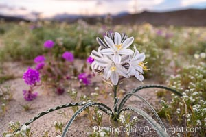Desert Lily Hersperocallis undulata, Anza Borrego Desert State Park. Anza-Borrego Desert State Park, Borrego Springs, California, USA, Hesperocallis undulata, natural history stock photograph, photo id 35170