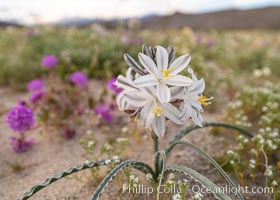 Desert Lily Hersperocallis undulata, Anza Borrego Desert State Park. Anza-Borrego Desert State Park, Borrego Springs, California, USA, Hesperocallis undulata, natural history stock photograph, photo id 35178