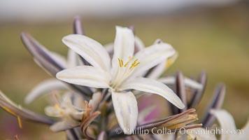 Desert Lily Hersperocallis undulata, Anza Borrego Desert State Park, Hesperocallis undulata, Anza-Borrego Desert State Park, Borrego Springs, California