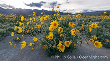 Desert Sunflower Blooming Across Anza Borrego Desert State Park. Anza-Borrego Desert State Park, Borrego Springs, California, USA, natural history stock photograph, photo id 35172
