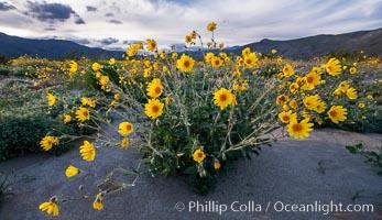 Desert Sunflower Blooming Across Anza Borrego Desert State Park, Anza-Borrego Desert State Park, Borrego Springs, California