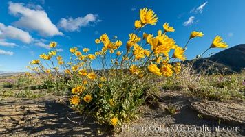 Desert Sunflower Blooming Across Anza Borrego Desert State Park. Anza-Borrego Desert State Park, Borrego Springs, California, USA, natural history stock photograph, photo id 35193