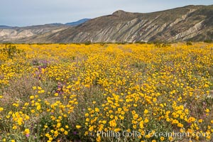 Desert Sunflower Blooming Across Anza Borrego Desert State Park. Anza-Borrego Desert State Park, Borrego Springs, California, USA, natural history stock photograph, photo id 35196