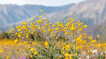 Desert Sunflower Blooming Across Anza Borrego Desert State Park. Anza-Borrego Desert State Park, Borrego Springs, California, USA, natural history stock photograph, photo id 35211