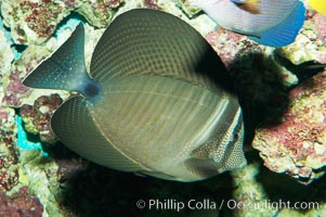Desjardins Indian sailfin tang., Zebrasoma desjardinii, natural history stock photograph, photo id 08689