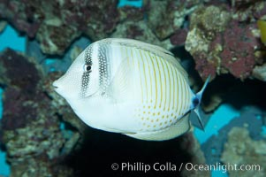 Desjardins Indian sailfin tang., Zebrasoma desjardinii, natural history stock photograph, photo id 11781