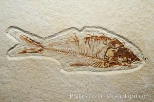 Fossil fish of the Eocene era, found in Fossil Lake, Green River Formation, Kemmerer, Wyoming.  From a private collection.  Order: Ellimmichyiformes: Family; Ellimmichthyidae; Diplomystus. Green River Formation, Kemmerer, Wyoming, USA, Dipolomystus, natural history stock photograph, photo id 21488