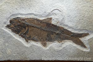Fossil fish of the Eocene era, found in Fossil Lake, Green River Formation, Kemmerer, Wyoming.  From a private collection.  Order: Ellimmichyiformes: Family; Ellimmichthyidae; Diplomystus. Green River Formation, Kemmerer, Wyoming, USA, Dipolomystus, natural history stock photograph, photo id 21489