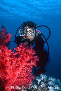 Image 00378, Diver and alcyonarian soft coral, Northern Red Sea. Egyptian Red Sea, Phillip Colla, all rights reserved worldwide. Keywords: animal, coral, creature, egypt, egyptian red sea, invertebrate, man and ocean, marine invertebrate, nature, ocean, oceans, people, red sea, scuba diver, soft coral, underwater, wildlife.