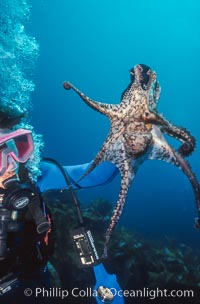 Diver and Octopus, Farnsworth Banks, Catalina Island