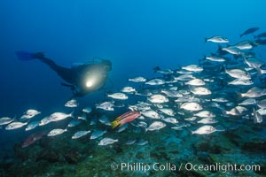 Diver and Schooling Fish, Galapagos Islands. Ecuador, natural history stock photograph, photo id 36274