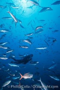 Image 36283, Diver and Schooling Fish, Galapagos Islands. Ecuador, Phillip Colla, all rights reserved worldwide.   Keywords: ls5000.
