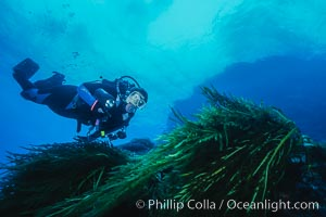 Diver and Southern Sea Palms, Guadalupe Island, Mexico, Guadalupe Island (Isla Guadalupe)