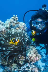 Clownfish, Egyptian Red Sea