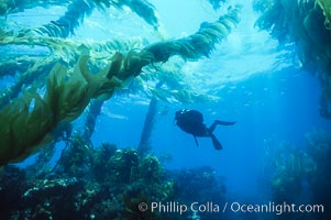 Diver and kelp. San Clemente Island, California, USA, natural history stock photograph, photo id 00264