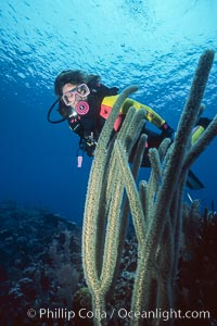 Diver and whip coral, Roatan