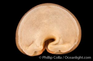 Dog-Rose Cowrie, Cypraea eglantina griseoformis