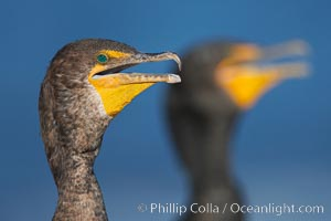 Double-crested cormorants, portrait, Phalacrocorax auritus, La Jolla, California