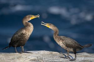 Juvenile double-crested cormorants sparring with beaks, Phalacrocorax auritus, La Jolla, California