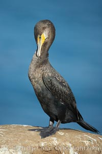 Double-crested cormorant. La Jolla, California, USA, Phalacrocorax auritus, natural history stock photograph, photo id 20176