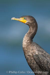 Double-crested cormorant, La Jolla, California
