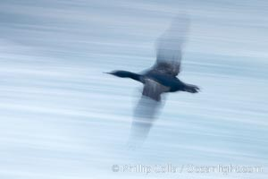 Double-crested cormorants in flight at sunrise, long exposure produces a blurred motion, Phalacrocorax auritus, La Jolla, California
