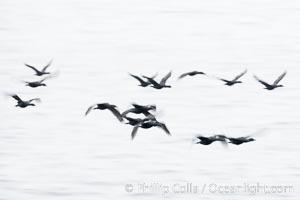 Double-crested cormorants in flight at sunrise, long exposure produces a blurred motion, Phalacrocorax auritus, La Jolla, California