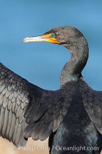 Double-crested cormorant, breeding plumage showing tufts, Phalacrocorax auritus, La Jolla, California